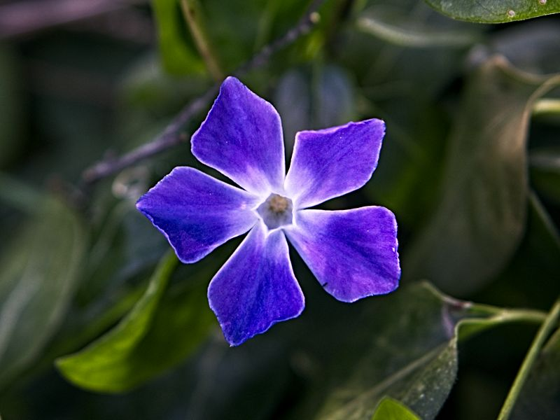 Periwinkle flower - love the color!