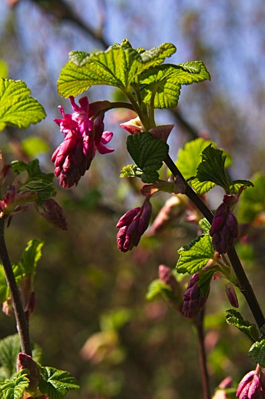 Red Flowering Currant: magnet for bees and hummingbirds!
