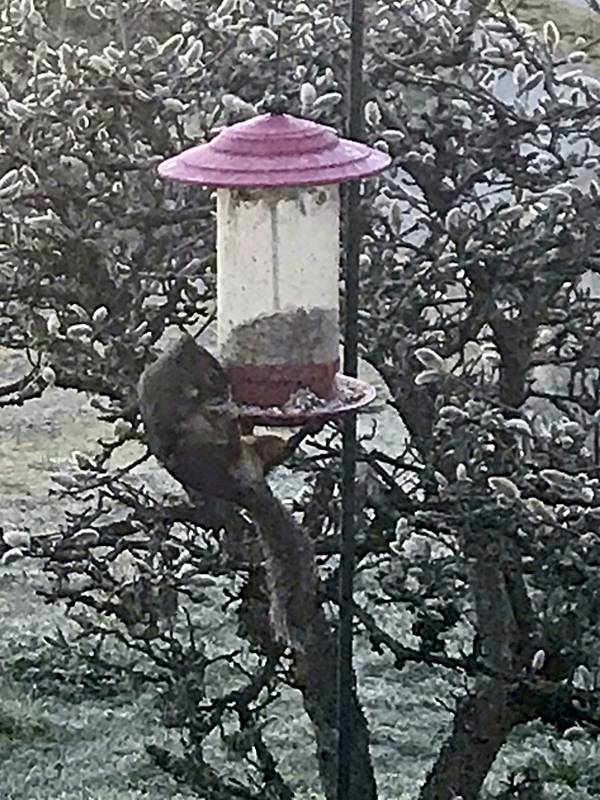 Squirrel hanging from feeder