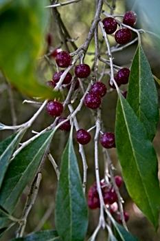 Autumn Olive Berries
