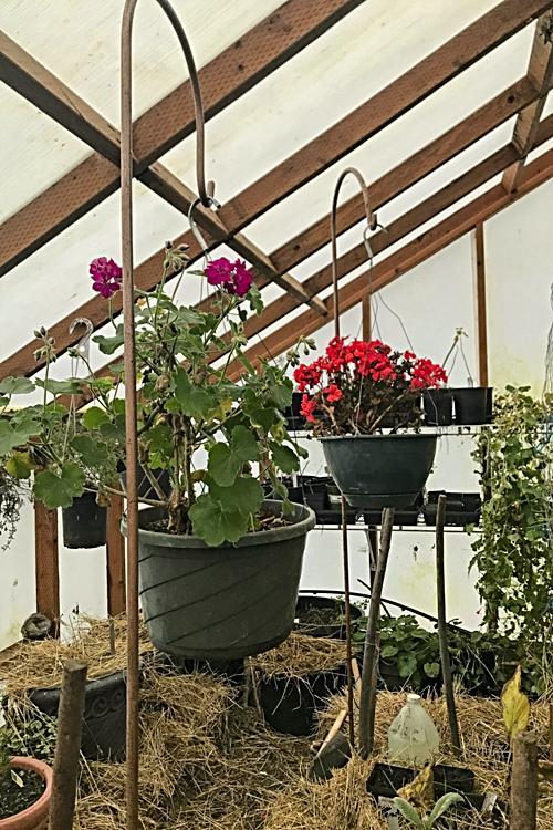 Hanging geraniums add color