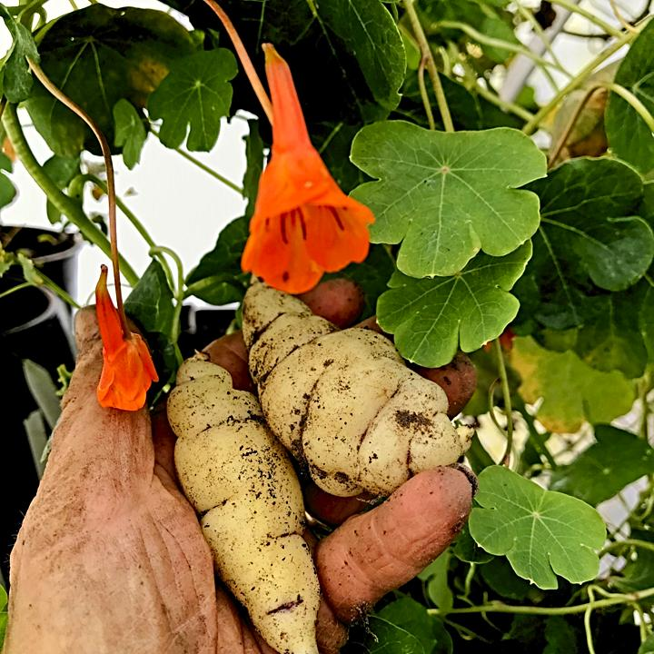 Mashua roots and blooms