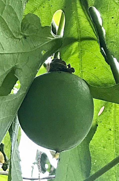 Passionfruit - aka Maypop
