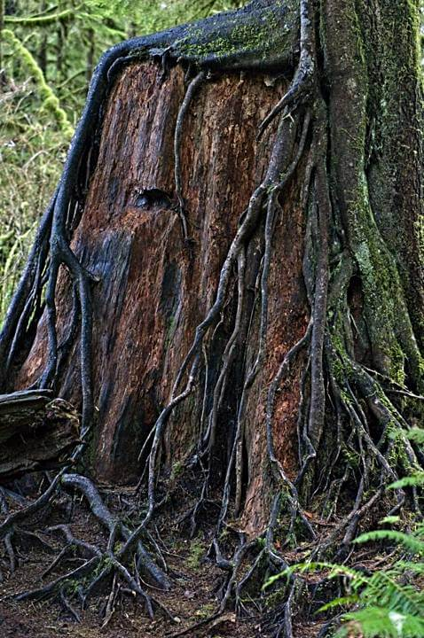 Nurse tree and roots, Quinault Rainforest