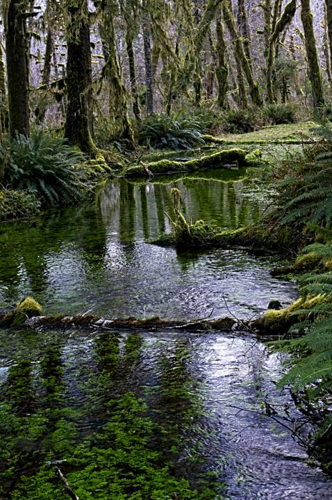 Mossy green waterways in the Quinault Rainforest