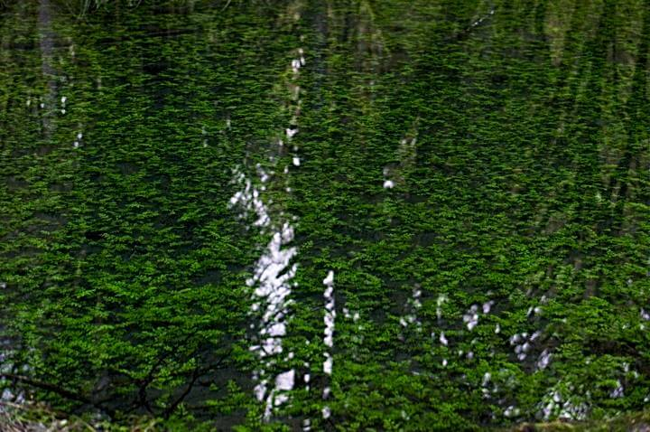 Green underwater plants and tree reflections; Quinault Rainforest