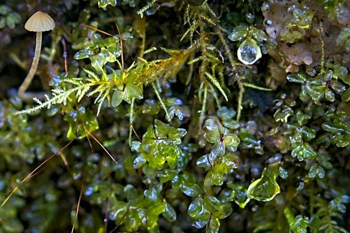 Moss, mushroom, water droplets; Quinault Rainforest