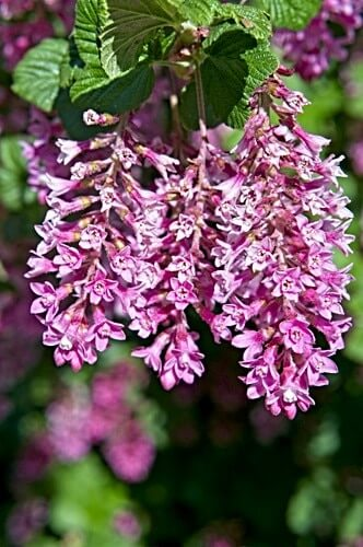 Red Flowering Currant trilogy
