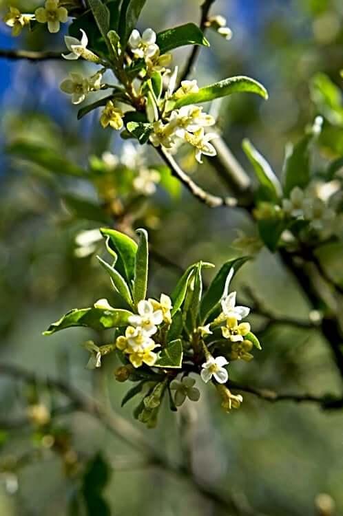 Goumi berry blossom