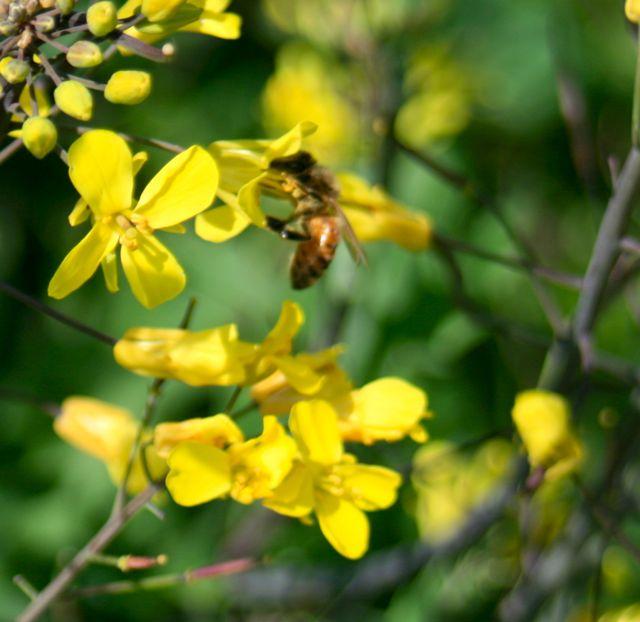 Honeybee on kale blossom