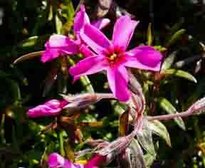 Daphne cenoreum