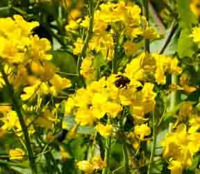 Bee on mustard-family blossom