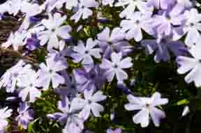 Lavender phlox
