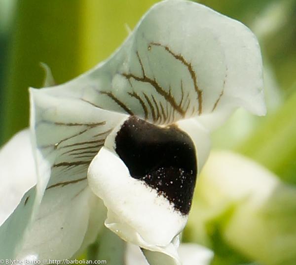 Fava bean flower close up