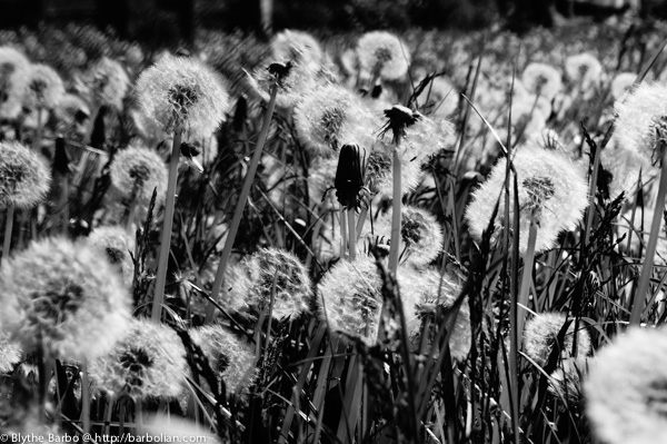 Dandelions in black & white - can't get enough!