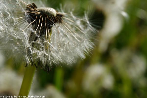 Dandelion profile