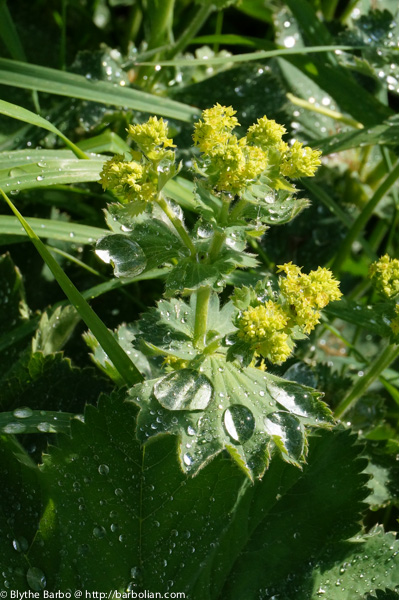Water on Lady's Mantle