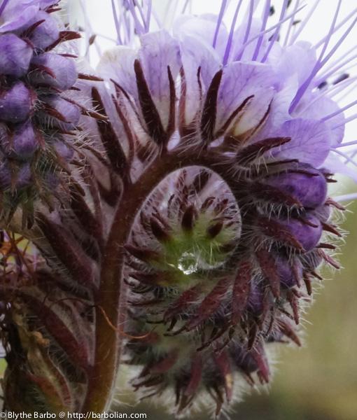 Drop of water in Phacelia curl