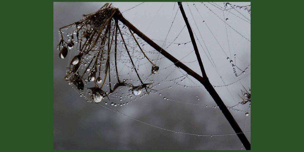 spiderweb on fennel