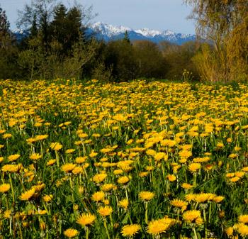 Dandelion fields for-ever