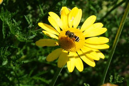 bee on golden margeurite