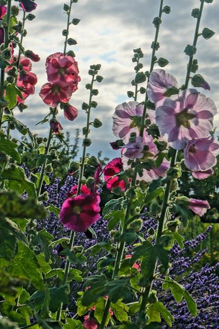 Hollyhock garden