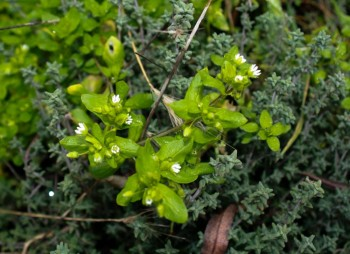 Chickweed Blooms