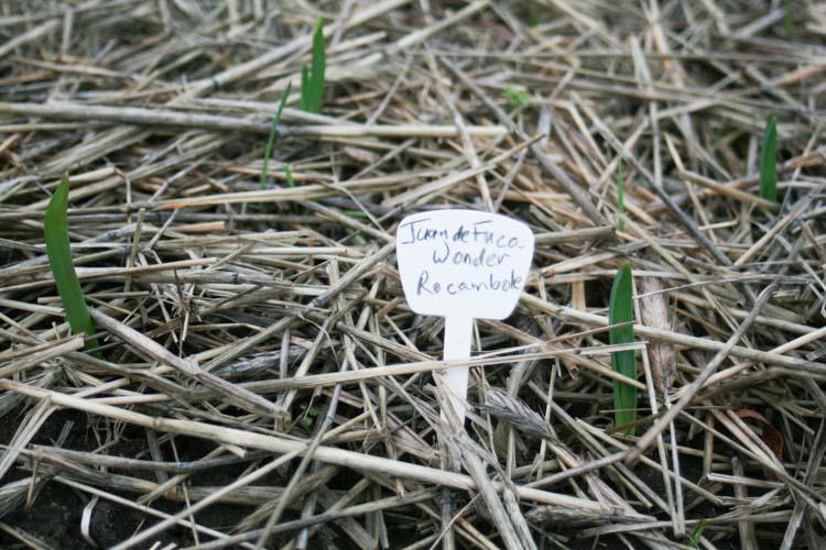 early shoots of garlic