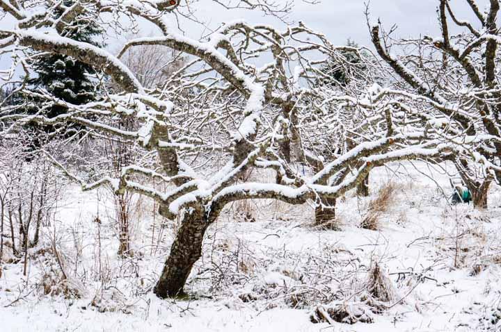 Pruned Prune Tree in Winter