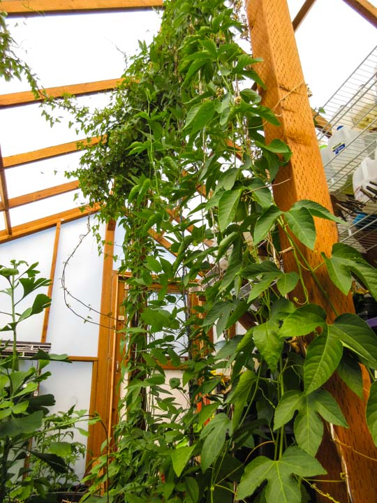 Passionflower climbs in greenhouse