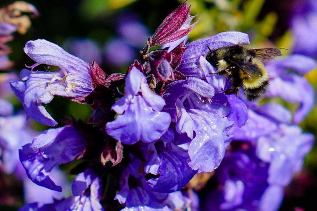 Bumblebee on Sage