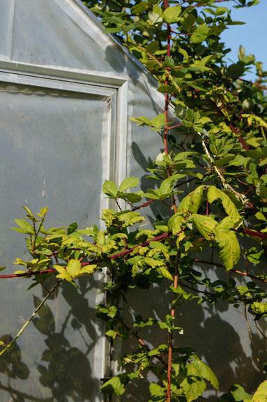 Himalayan Blackberries take over greenhouse