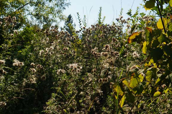 Thistles hide gojis, currants, autumn olives, elders, and...