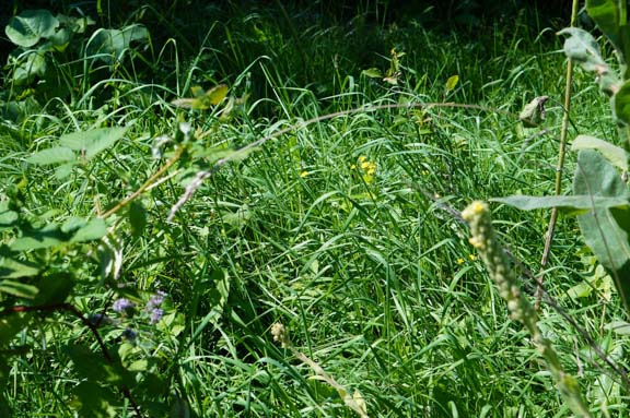 Weeded strawberry & blueberry bed overcome by grasses again