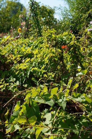 More garden chaos: bindweed overtakes currants and gooseberries