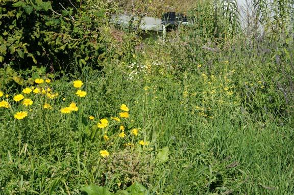 Restored garden around Contorted Hazel - lost to weeds again.
