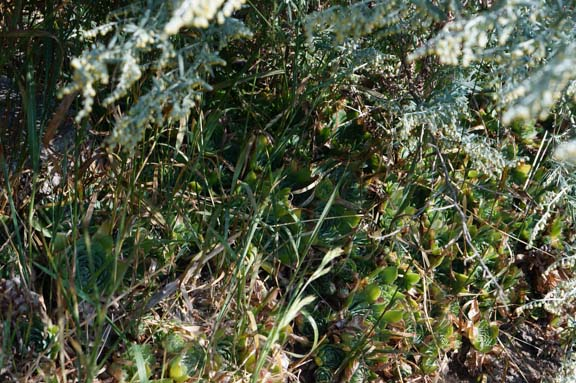 Grass grows through sedums on the family cemetery.