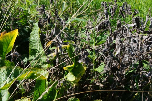 Horseradish and comfrey in late summer