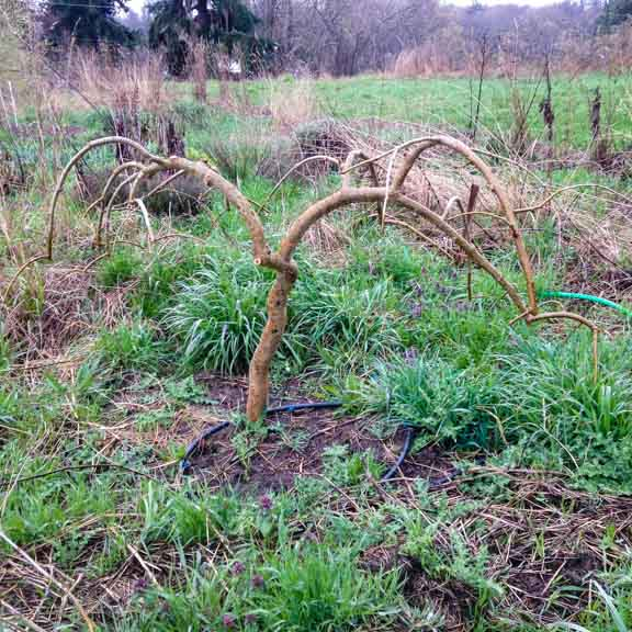 Pruned weeping mulberry