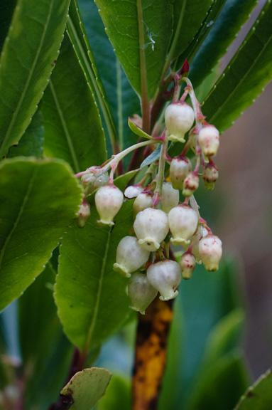 Strawberry Tree flower (Arbutus unedo)