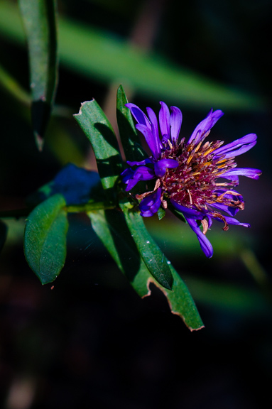 Purple Aster (Aster amellus) - still blooming in November