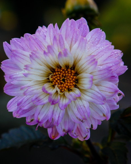 Purple-tinged dahlia blooming in November at Barbolian Fields