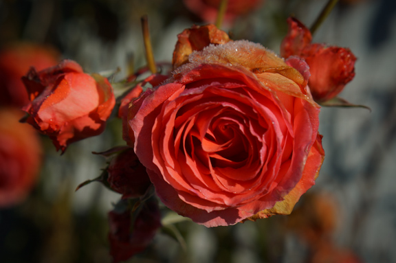 Frosty rose blooming in November