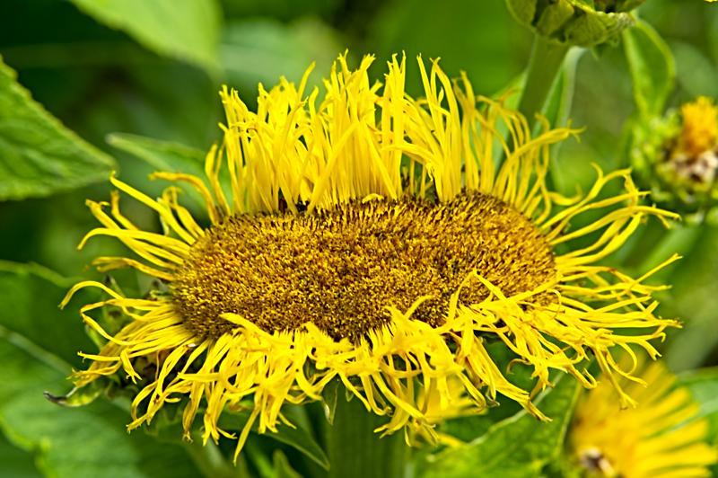 July's Elecampane Flower
