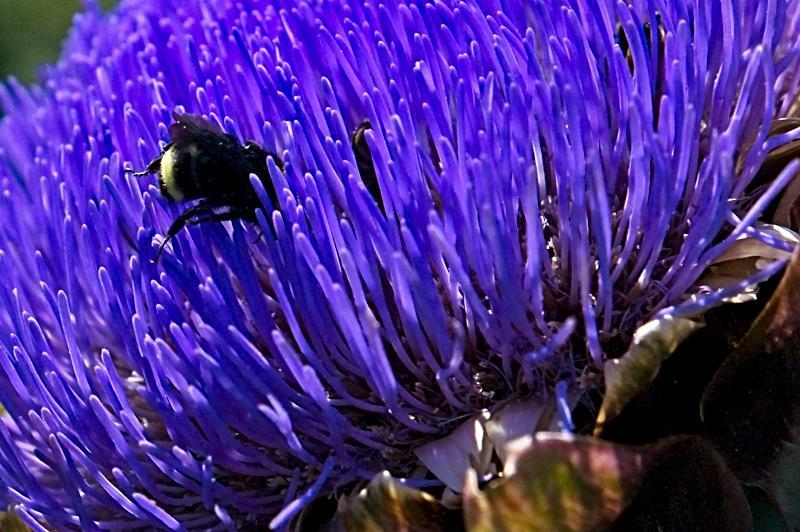 Bumblebee Diving into Artichoke Flower. August.