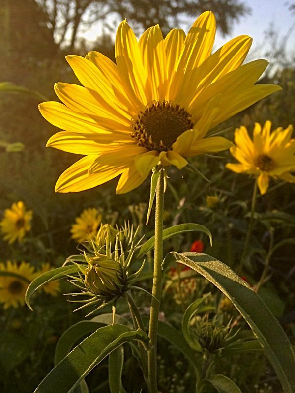 Maximilian Sunflowers. Love Fall Flowers!