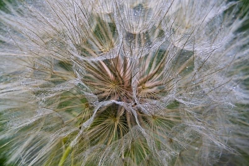 Salsify - like a giant dandelion