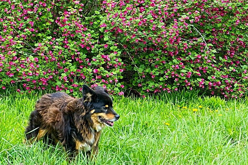 Barkley with Red Flowering Currants - sense of place