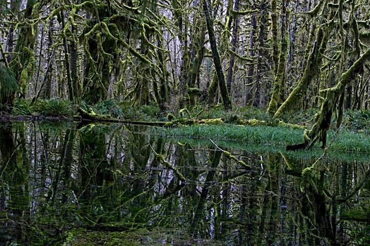 Reflections in a maple grove; Quinault Rainforest