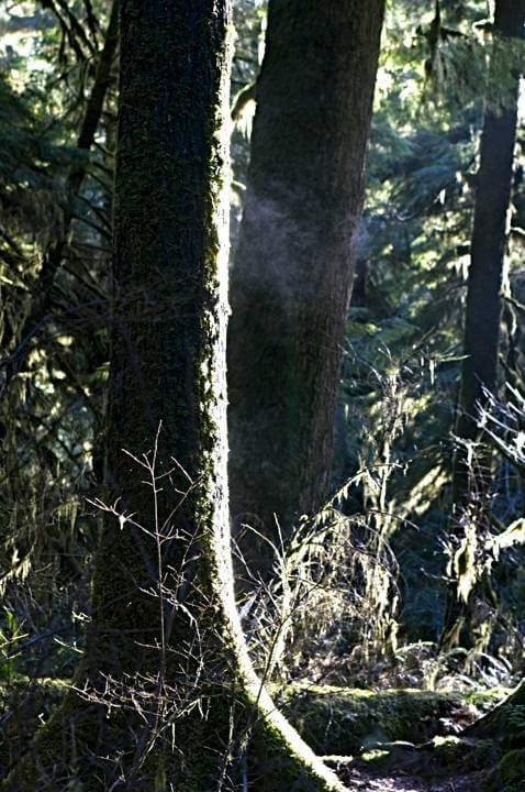 Steam off a tree in the morning light; Quinault Rainforest